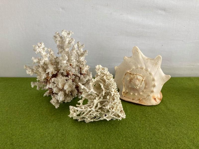 Lot van 2 koralen en 1 grote schelp